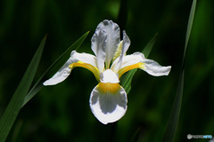 白コアヤメの花  21-312