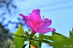 ツツジの花   21-249