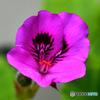 ペラルゴニュームの花  577