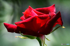 赤い花  21-498