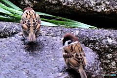 雨上がりにすずめドンが2羽  21-255