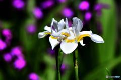 白コアヤメの花と後ろにシランの花  21-318