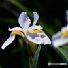 白コアヤメの花  21-337