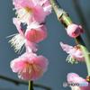 枝垂れ梅の花   21-022