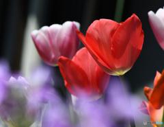 チューリップの花   21-192