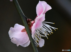 梅の花  21-098