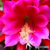 赤いサボテンの花が咲きました  21-367
