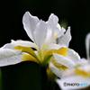 庭に咲いた白いコアヤメの花  21-289