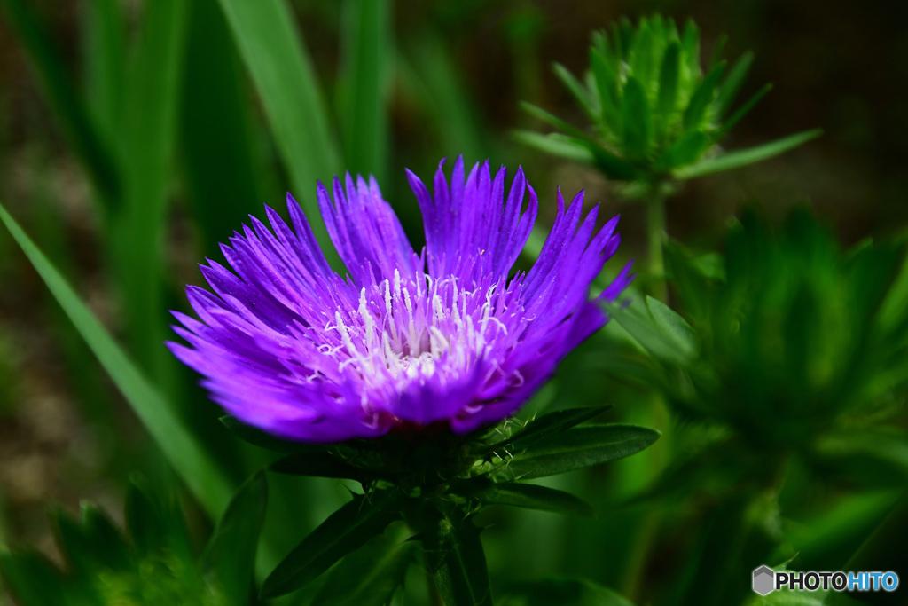 庭に咲いたストケシアの花  21-404