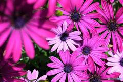 オステオスペルマムの花   21-265