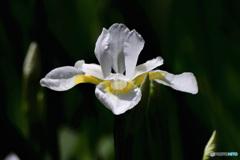 白コアヤメの花  21-339