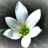 庭に咲いたレインリリーの花  713