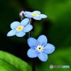 庭に咲いた青くて小さな花  21-398