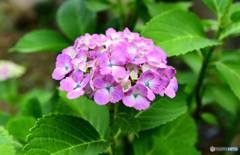 庭に咲いた紫陽花  21-397
