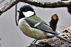 野山の鳥  21-258  四十雀さん