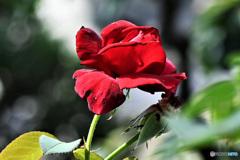 庭に咲いたバラの花  21-472