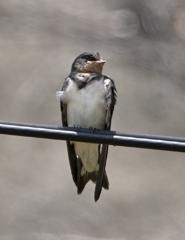 ツバメ 幼鳥 ①