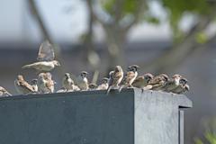 スズメの集会