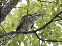 ササゴイ 幼鳥