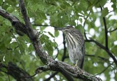 ササゴイ 幼鳥 ⑥