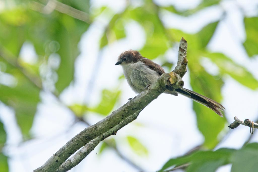 エナガ35 幼鳥