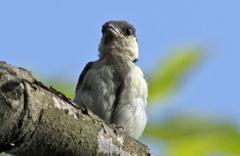 シジュウカラ 幼鳥 ②