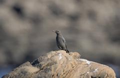 イソヒヨドリ♂ 若鳥