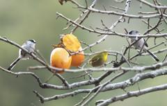 柿の木にメジロ ※友情出演 エナガ PART2