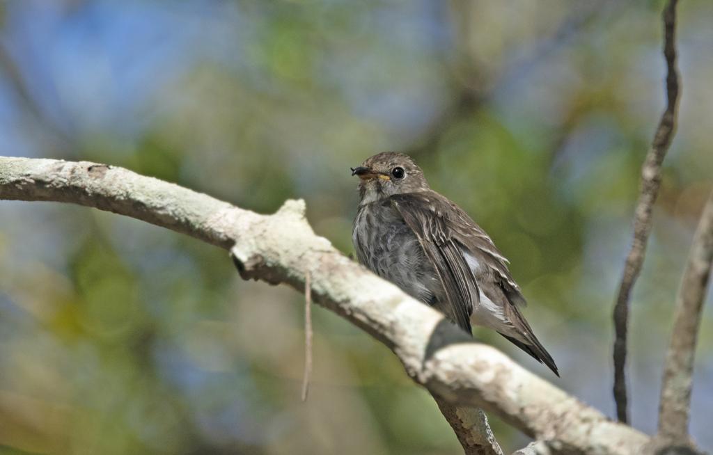 エゾビタキ 幼鳥 ⑥