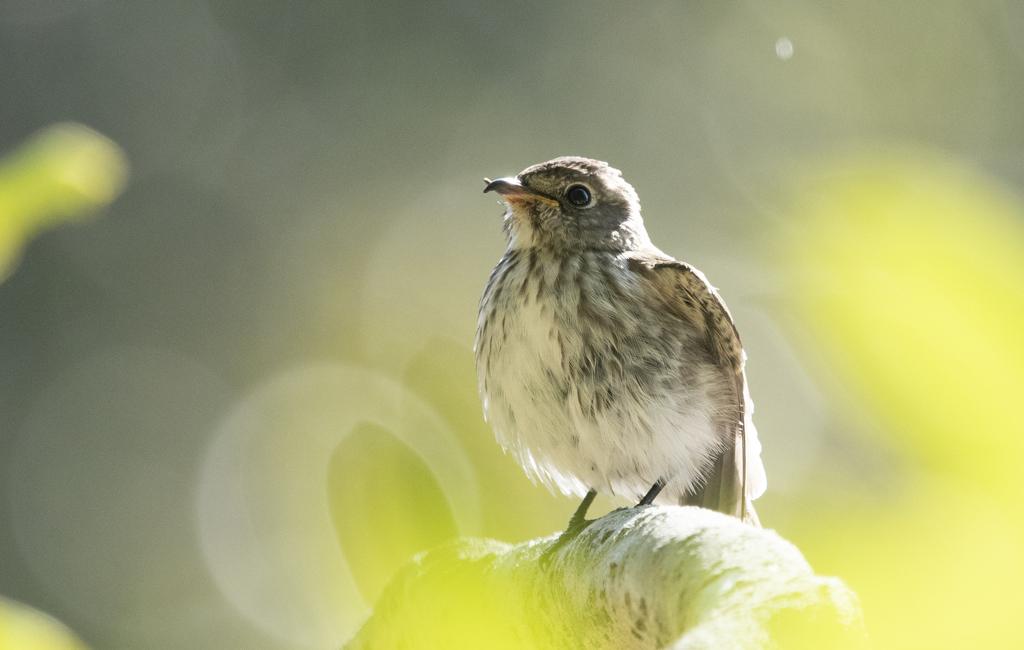 エゾビタキ 幼鳥 ④