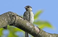 シジュウカラ 幼鳥 ①