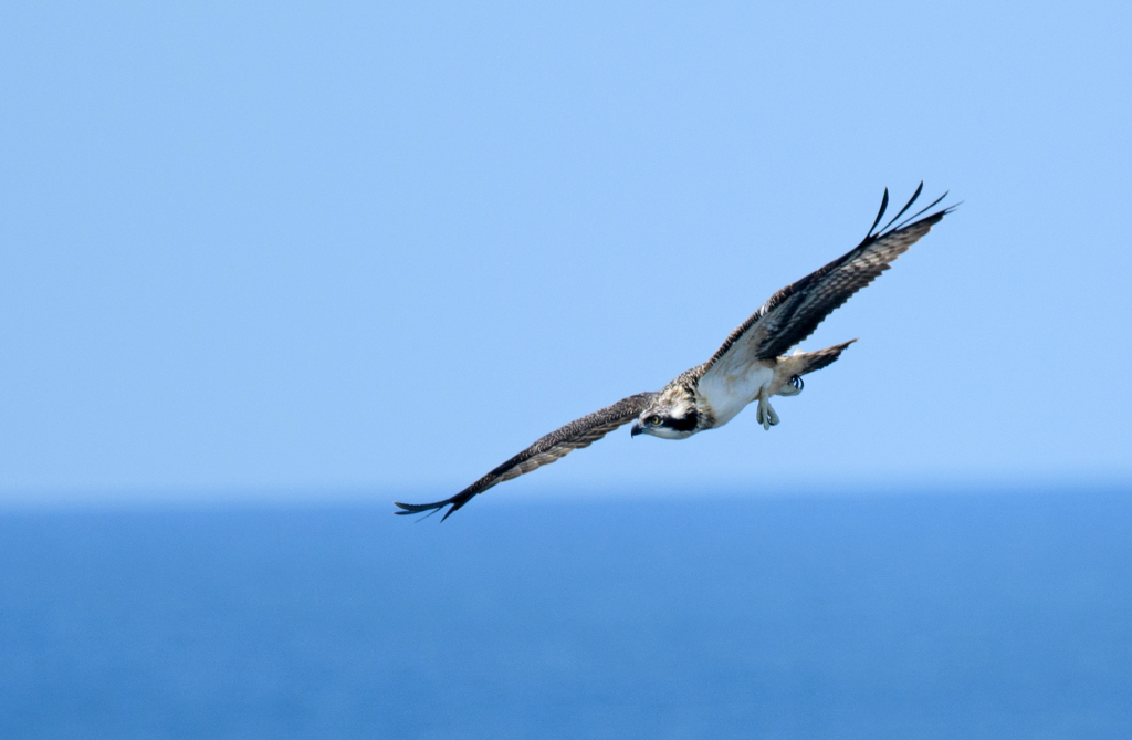 ミサゴ幼鳥飛翔