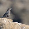 イソヒヨドリ♂ 若鳥 ②