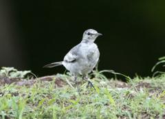 ハクセキレイ 幼鳥