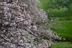 沿道は大勢の桜の拍手
