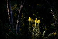 黄色い精霊たち現る