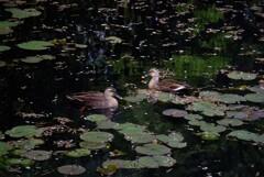 私たちの池