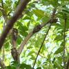 セミの群がる木