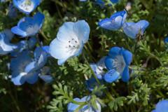 世羅高原の春5