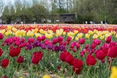 世羅高原の春3