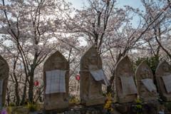 しまなみ海道の桜6
