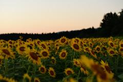 向日葵畑の夕方