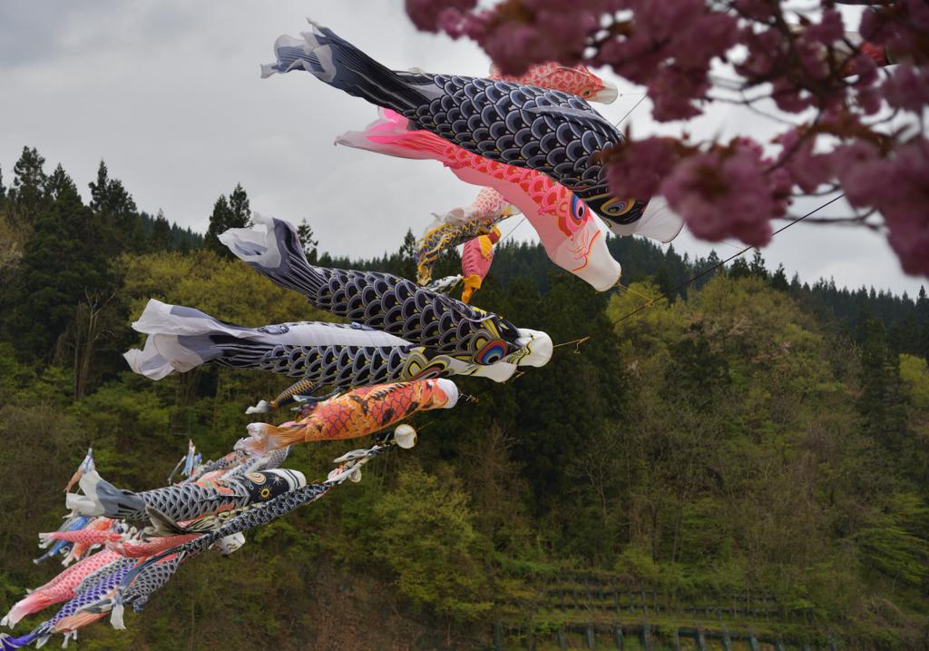 2021-5-1 白鷹の鯉のぼり