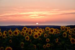 向日葵の丘から日没をながむる