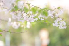 小学校前の桜