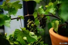 オールドレンズで 葡萄
