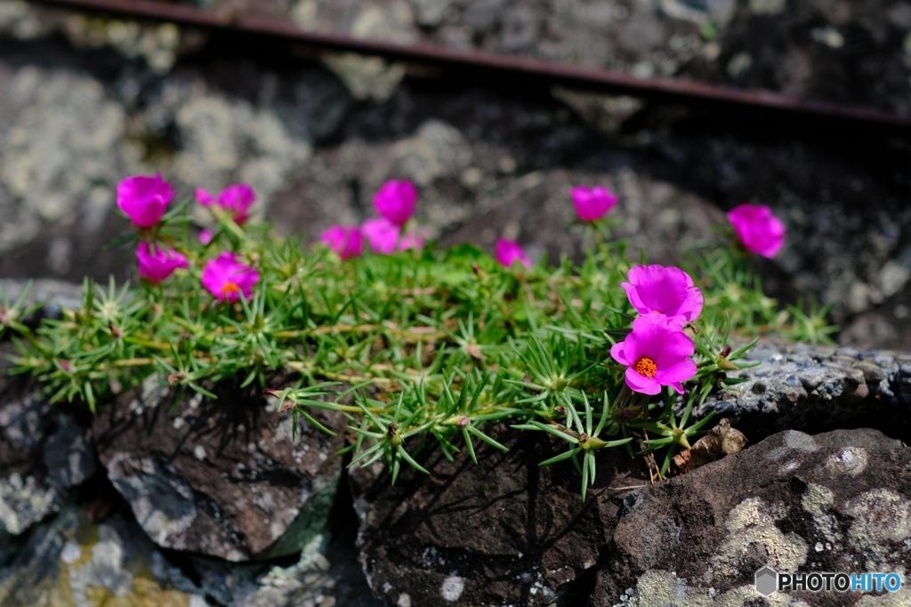 石垣の花 マツバボタン