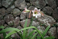石垣の花 ヘメロカリス