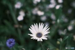 清里に咲いていた花