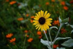 小さなヒマワリみたいな花